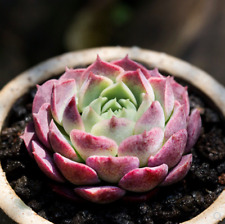Echeveria Red hole Succulent live Plants Rare Easy To Grow Potted Flower 1-cut