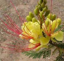 Caesalpinia gilliesii Bird of Paradise Shrub 10 seeds