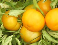 Tomato Seeds Yellow Peach yellow tomatoes organic non gmo Ukraine 20 seeds D