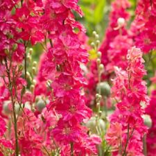50 Bright Pink Delphinium Seeds Perennial Flower Seed Flowers 223 Us Seller