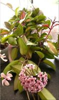 Varigated Hoya carnosa Tricolour Wax Plant x1 well rooted cutting
