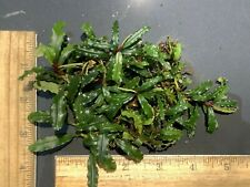 "Live Aquatic Plant | Bucephalandra species ""Biblis Blue Sky"" 