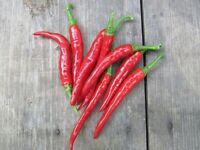 25 LONG THIN RED CAYENNE PEPPER SEEDS 2020 ( NON-GMO FREE SHIPPING! )