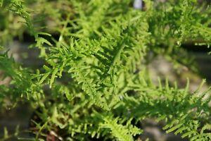 Athyrium filix-femina Victoriae Fern Young Plant in 9cm Pot x 3 Plants/Pots