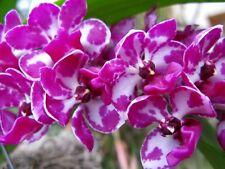 Orchid 2 color, blanco y púrpura planta joven. Hermoso florece.