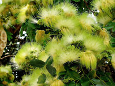 Woman's Tongue   Albizia lebbeck   20 Seeds   (Free US Shipping)