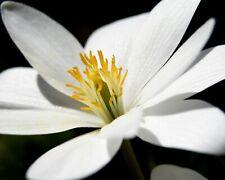 Bloodroot, Sanguinaria canadensis, 10 Bulbs