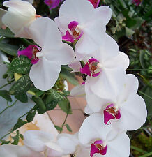 White Phalaenopsis Seeds Butterfly Orchid Seeds 80 Seeds --BUY 4 ITEMS FREE SHIP