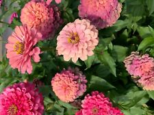 New listing 25 Mixed zinnia seeds, gorgeous colors, Usa grown, butterfly magnets, bouquets