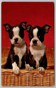 Dogs~Two In A Basket~Boston Terrier Pups With Paws On Wicker~Red Back~Vintage PC