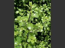 Pittosporum tenuifolium - 10 seeds
