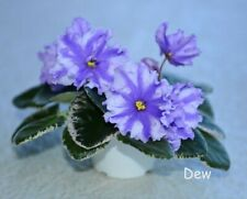 Variegated African Violet Chimera 'Rs-Wheel of Fortune' - Plant in Bud!