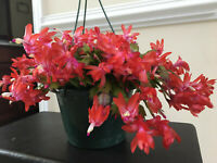 2  Red Christmas/ThankGiving Zygo cactus Schlumbergera rooted cutting live plant