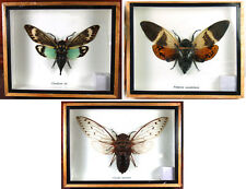 3 Cicada Real Butterfly Insect Bug Taxidermy Display Framed Box Set Gift gpasy