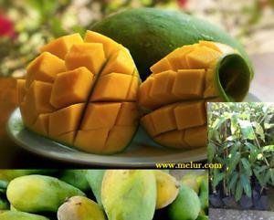 Grafted  Harum Manis Mango Sapling - Anak pokok Mangga Harum Manis Kahwin