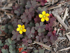 3 Plants Purple Oxalis Corniculata Shamrock Iron Cross Lucky Clover Wood Sorrel