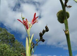 Canna Edulis aka Queensland Arrowroot Tall Permaculture  Seed x 20 SEED
