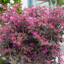 More details for loropetalum fire dance - chinese fringe flower   evergreen potted garden shrub