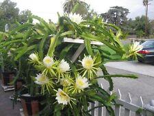 Dragon Fruit Plant - White Flesh - 2 Feet Tall - Ship Bare Root