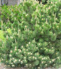 Other Seeds & Bulbs Dwarf Mugo Pine 100 seeds Pinus mugo Pumilio ...