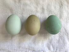 12 Hatching Eggs: Sage Egger, Turquoise Egger, Olive Egger, Easter Egger