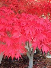 2 Fire Glow Japanese Maple Trees 6-10 Inch Ornamental Bonsai Garden Gift Farm