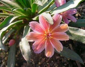 Lewisia longipetala Little Plum Young Plant 9cm Pot x 3 Pots