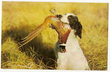 Hunting Dog With Pheasant In Mouth Spaniel Postcard