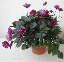 African Violet Dancing Trail Mini Trailer