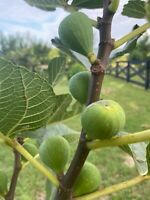'Ischia Fig' Fig Tree Plant LIVE Edible Tropical Exotic Houseplant