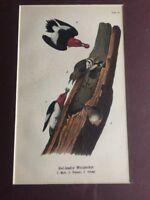 Bird Antique Art Print Birds Red-Headed Woodpecker Vintage 1889 Plate #27 Matted