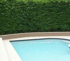 10 x Slender Weavers Gracilis Bamboo Plants. Screening, hedge. SYDNEY ONLY