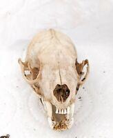 Vrai crâne vison d'Amérique - ostéologie taxidermie - true American mink's skull
