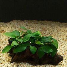 PIANTA PIANTE FACILE X ACQUARIO ANUBIAS NANA BONSAI LIVE EASY AQUARIUM PLANT !