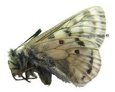 Unmounted Butterfly/Papilionidae - Parnassius simonius simonius, male