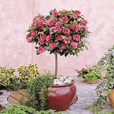 Camellia Standard Tree Evergreen Japonica Patio Garden Deck Flowering Red Gift