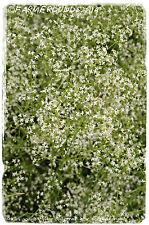 "Galium mollugo ""hedge Bedstraw"" [ EX. Northumberland ] 1000 + Semi"