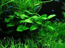 Live Aquarium Plants for Fish - Anubias Nana Potted - BUY3GET1FREE*