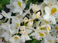 Gartenazalee Möve Rhododendron luteum 30-40cm Frühlingsblüher