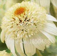 100 Seeds/bag Heirloom Echinacea 'Milkshake' Chrysanthemum Seed