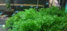 New listing Subwassertang Round Pellia Moss live plant Shrimp, Baby fish cover 2 oz Cup