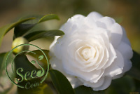 Seeds White Camellia Plants Garden Rare Flowers Bonsai Rainbow Tree 100 Pcs