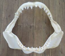 """22.00"""" Nature Modern Great white shark jaws taxidermy!"""