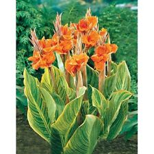 Canna Lily Seeds - PRETORIA - Variegated Foliage - Exotic Blooms - 4 Seeds