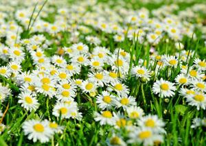 + 6000 Samen Gänseblümchen Bellis perennis kleine Margerite Tausendschön essbar