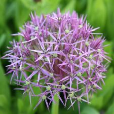 PRE-ORDER- 10 x Allium Christophii Star of Persia.Purple Pinkish.Spring Flowers