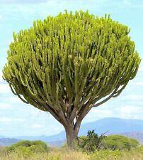 Rare Euphorbia Ingens Candelabrum exotic cactus Candelabra Tree seed 5 seeds
