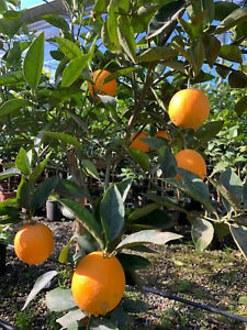 Orangenbaum  Citrus sinensis 130 cm Orangenbaum  Zitrus  wunderbarer Blütenduft
