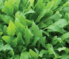 ARUGULA SEEDS 500+ ROCKET roquette VEGETABLE greens SURVIVAL salad FREE SHIPPING