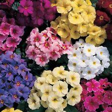 30+ Primrose /.Primula Flower Seeds / Viennese Waltz Mix / Perennial